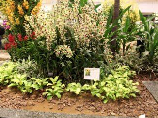Changi Airport Orchid